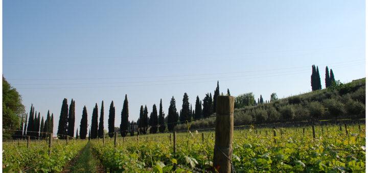 Vigne_in_Valpolicella